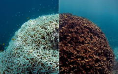 Global Warming Destroying Great Barrier Reef, Florida Reefs